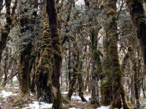 Rhododendron wächst in Bhutan in baumhohen Wäldern auf 3000 - 3800 Höhenmetern